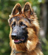Shepherds Photo Posters - Long Coated German Shepherd Dog Poster by Sandy Keeton