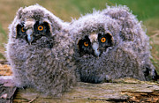 Baby Bird Photos - Long-eared Owl Asio Otus Two Owlets by Do Van Dijck