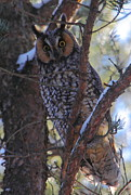 Owl Metal Prints - Long-eared Owl Metal Print by Bruce J Robinson
