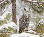 Wary Prints - Long Eared Owl Print by John Pitcher