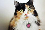Pet Collar Posters - Long Haired Calico Cat Poster by Genevieve Morrison