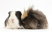 House Pets Posters - Long-haired Guinea Pigs Poster by Mark Taylor