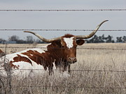 Long Horn Cow Photos - Long Horn Cow by Sheri LaBarr