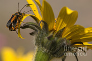 Longhorn Photos - Long-horned Beetles On Sunflower by Raul Gonzalez Perez