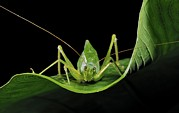 Grasshopper Posters - Long-horned Grasshopper Poster by Robbie Shone