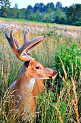 Whitetail Deer Framed Prints - Long Nose Framed Print by Emily Stauring