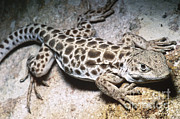 Long Nose Framed Prints - Long-nosed Leopard Lizard Framed Print by Dante Fenolio