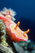 Long Tail Prints - Long-tail Ceratosoma Sea Slug Print by Georgette Douwma