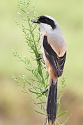 Y120907 Art - Long Tailed Shrike by Myron Tay