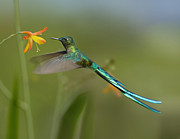 Feeding Birds Posters - Long Tailed Sylph Feeding On Flower Poster by Tim Fitzharris