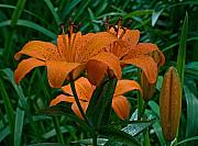 Day Lilly Prints - Long Valley Lily Print by Robert Pilkington