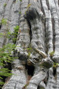 Bark Design Photos - Long Views - Giant Western Red Cedar Olympic National Park WA by Christine Till