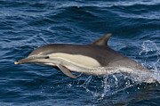 Backed Posters - Longbeaked Common Dolphin Jumping Baja Poster by Suzi Eszterhas