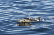 Backed Posters - Longbeaked Common Dolphin Surfacing Poster by Suzi Eszterhas