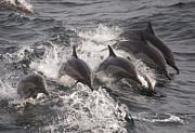 Backed Posters - Longbeaked Common Dolphins Jumping Baja Poster by Flip Nicklin