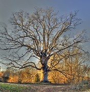 Oak Photos - Longevity II by Benanne Stiens