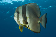 Ephippidae Photos - Longfin Spadefish, Papua New Guinea by Steve Jones