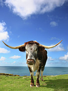 Coo Photos - Longhorn and Sea by Mark Stokes