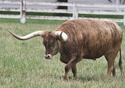 Long Horn Cow Photos - Longhorn by Angie Vogel