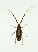 Longhorn Photos - Longhorn Beetle by Lawrence Lawry