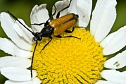 Longhorn Photos - Longhorn Beetle by Paul Harcourt Davies