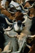 Groups Of Animals Posters - Longhorn Cattle Are Packed Poster by Joel Sartore