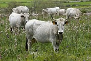Longhorn Photos - Longhorn Cattle by Bob Gibbons