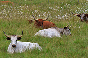 Longhorn Photos - Longhorn cattle resting in a field of daisies by Louise Heusinkveld