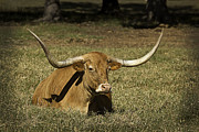Bulls Metal Prints - Longhorn Cow Resting In Grass Metal Print by M K  Miller