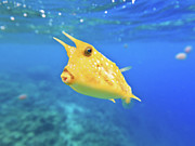 Longhorn Photos - Longhorn cowfish by MotHaiBaPhoto Prints