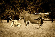 Bulls Metal Prints - Longhorn Cows Rsting in Monochrome Metal Print by M K  Miller