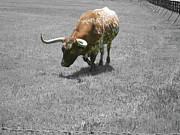 Longhorn Photos - Longhorn by Douglas Barnard