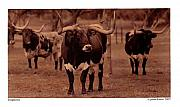 On Paper Photo Originals - Longhorns 3 by Jim McKinnis