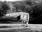 Cow Humorous Photos - Longhorns Long Day by Joe JAKE Pratt