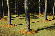 Evergreen Trees Posters - Longleaf Pine Trees Mulched With Pine Poster by Raymond Gehman