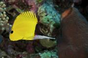 Sealife Art Photo Posters - Longnose Butterflyfish Poster by Steve Rosenberg - Printscapes