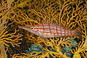 Featured Art - Longnose Hawkfish Alam Batu Bali by Reinhard Dirscherl