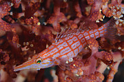 Fan Coral Posters - Longnose Hawkfish, Solomon Islands Poster by Steve Jones
