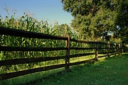 Landscapes - Longstreet Farm Growing Corn - Holmdel Park by Angie McKenzie