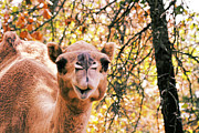 Camel Photos - Look at Me by Douglas Barnard