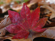 Autumn Leaf Photos - Look At Me by Juergen Roth
