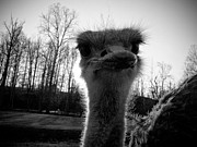 Ostrich Photo Metal Prints - Look At Me Now Metal Print by Jessica Brawley