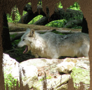 Nature And Wolves Framed Prints - Look From The Den Framed Print by Debra     Vatalaro