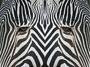 Zebras Photos - Look into my Eyes by Ernie Echols