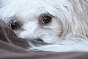 Maltese Puppy Photos - Look Into My Soul by Lisa  DiFruscio