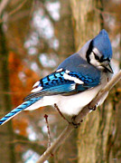 Pretty Colored Bird Photos - Look Of The Blue Jay by Debra     Vatalaro