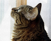 Cat - Look Out Window Tabby Cat by Andee Photography