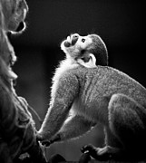 Squirrel Monkey Prints - Look Up Print by Darcy Michaelchuk
