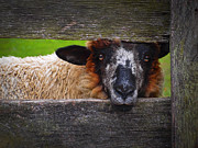 Hunt Metal Prints - Lookin at Ewe Metal Print by Skip Hunt