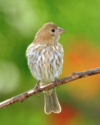 House Finch Prints - Lookin at You Print by Betty LaRue